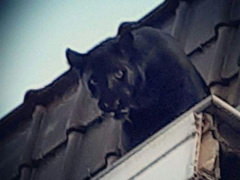 Black panther yang dicuri ini baru diselamatkan dari atap gedung pekan lalu