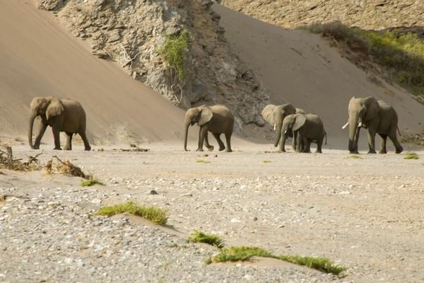 Ekstremnya tanah Skeleton membuat kebanyakan fauna darat berevolusi. Seperti gajah yang berukuran lebih kecil tapi punya kaki lebih panjang dan lebar. Evolusi ini memudahkan gajah untuk berjalan di pasir gurun. (iStock)