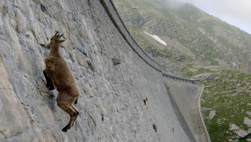 Foto: Kambing-kambing di Dinding, Diam-diam Mendaki