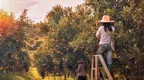 Pekerja Working Holiday Visa Naik 20 Persen, Pertanian Australia Diuntungkan