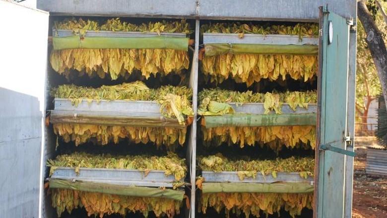 Australia Gagalkan Penyeludupan 5 Ton Daun Tembakau dari Indonesia