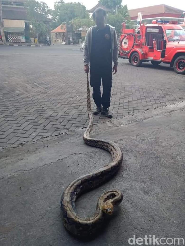 Piton Sepanjang 5 Meter Melintas di Kuburan Bikin Geger Warga Bali!