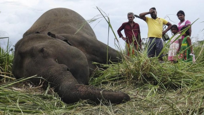 Villagers stand next to the dead body of an elephant laying in a field near Sigiriya village, some 177 kms north of the capital of Colombo on September 27, 2019. - Four elephants were found dead on September 27 in central Sri Lanka, with police suspecting the animals were poisoned by angry villagers. Nearly 200 elephants are killed every year on the island, many by farmers after the animals stray onto their land. (Photo by STR / AFP)