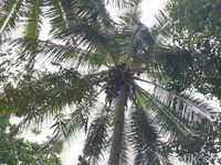 Jangan Coba Ambil Kelapa Sembarangan di Pulau Miangas