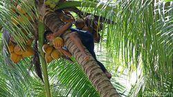 Di Pulau Miangas, Jangan Coba-coba Sembarangan Petik Kelapa