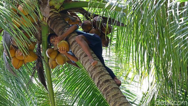 Adat mengambil kelapa di Miangas (Muhammad Ridho)