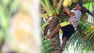 Ini Hukum Adat Petik Kelapa di Miangas