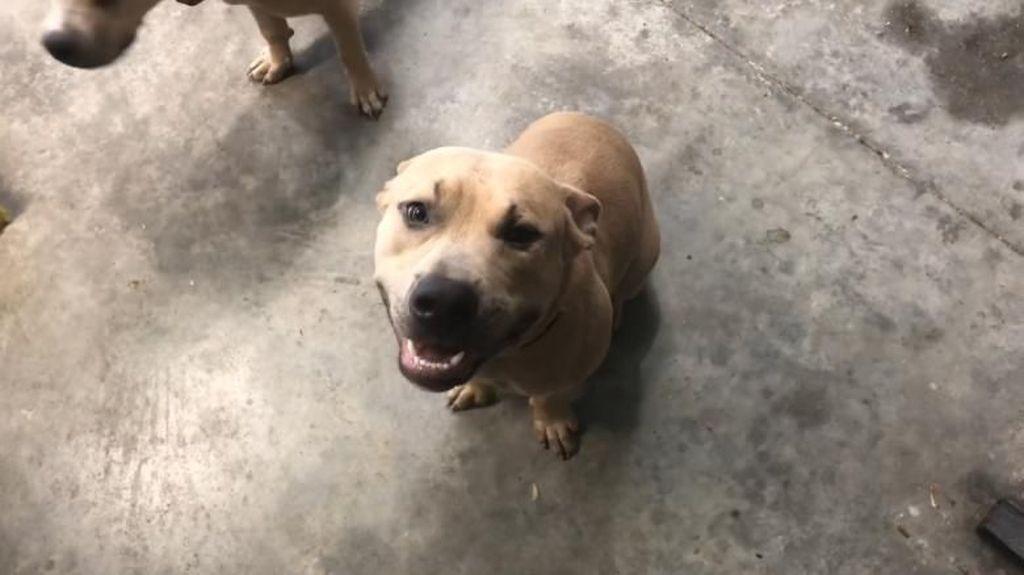Anjing Pitbull di AS Mati Usai Lindungi 2 Anak dari Ular Berbisa