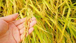 Wouw! Satu Mangkuk Nasi Hasil Panen Ini Harganya Rp 20 Juta