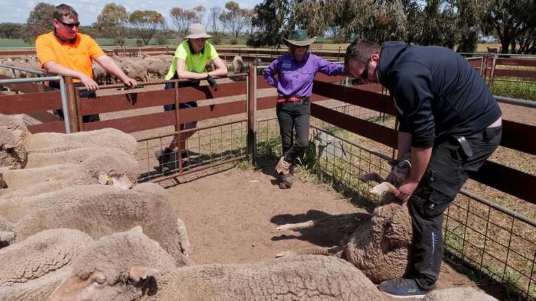Petani Australia Kesulitan Cari Pekerja, Backpacker Butuh Kemampuan Siap Kerja