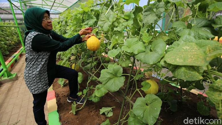 Pemkot Ajak Warga Surabaya Panen Raya Sayur dan Buah di Mini Agrowisata
