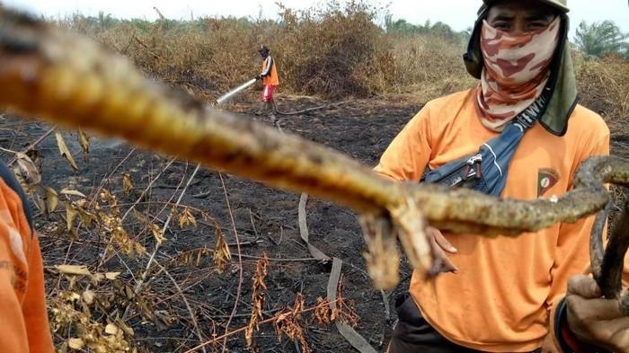 Penemuan baru ular berkaki di Indragiri Hulu (KPBD Indragiri Hulu)