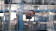 Antisipasi DBD, Dinkes Cimahi Sarankan Warga Pelihara Ikan Cupang