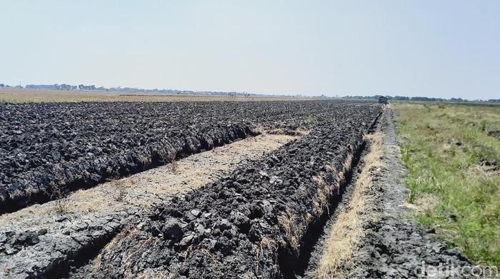 Lahan pertanian di Mijen, Kabupaten Demak. (Wikha Setiawan/detikcom)