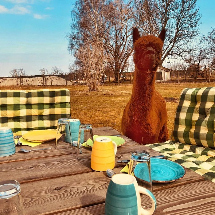 Bagi pencinta hewan, mampir ke Alpakafarm Nieplitzhof yang ada di Berlin, Jerman, bisa jadi destinasi wisata yang menyenangkan dan tentunya unik. Foto: Istimewa