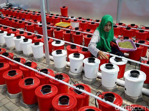 Hidroponik jadi solusi bercocok tanam di tengah keterbatasan lahan. Ibu-ibu di Makassar pun kembangkan budidaya hidroponik untuk tingkatkan kesejahteraan hidup.