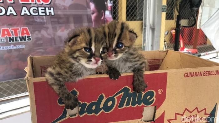 Jual Kucing Hutan Pria Di Aceh Ditangkap