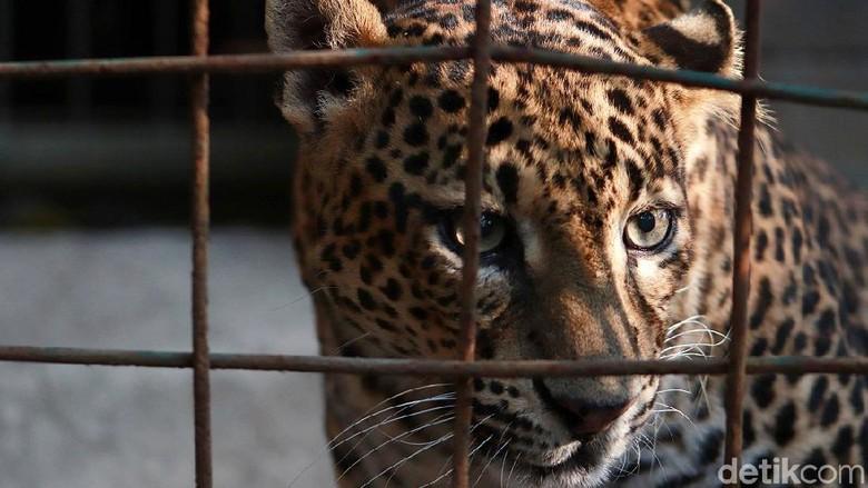 Kebun Binatang Bandung berupaya melestarikan populasi macan tutul Jawa. Saat ini kebun binatang tersebut telah memiliki tiga ekor macan tutul Jawa.