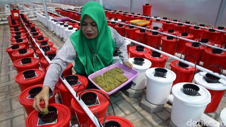 Budidaya Tanaman Hidroponik Jadi Andalan Ibu-ibu di Makassar