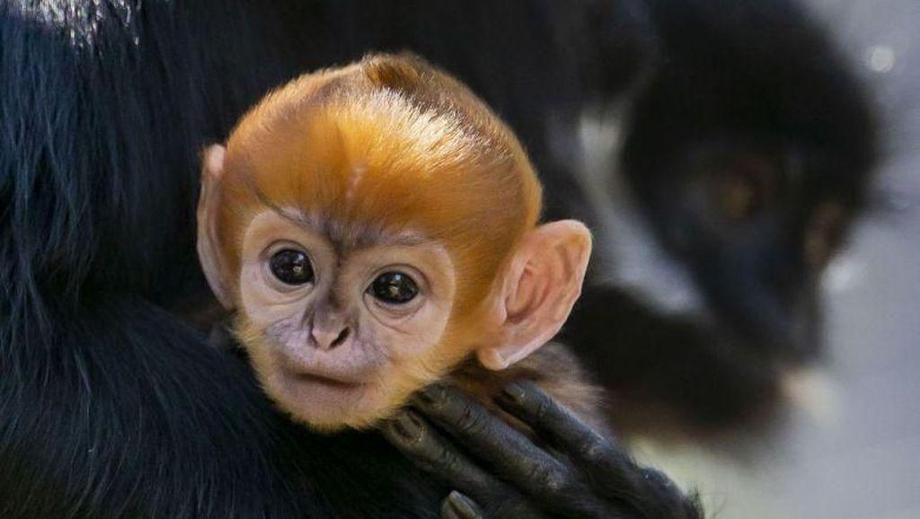 Bayi Kera Langka Lahir di Kebun Binatang Australia