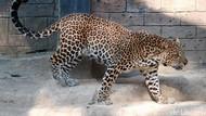 Diduga Ada Macan Tutul, Kamera Trap Dipasang di Pegunungan Lasem Rembang