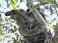 harpy eagle, elang harpy
