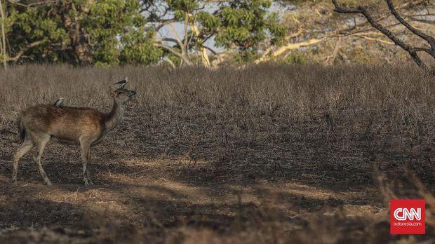 Waktu Tepat 'Berburu' Foto Safari Afrika di TN Baluran
