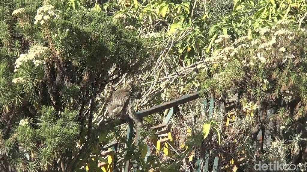 Penanjakan Bromo Terbakar, Kawanan Monyet Liar Mulai Turun Gunung