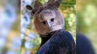 elang harpy, harpy eagle