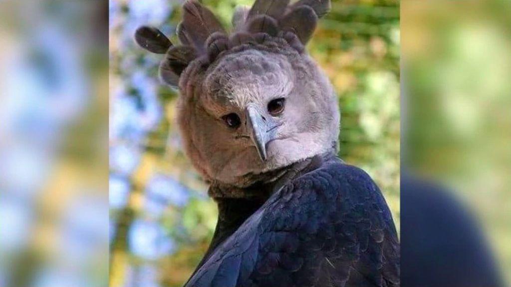 Viral Harpy Eagle, Elang Terbesar di Dunia yang Mirip Manusia