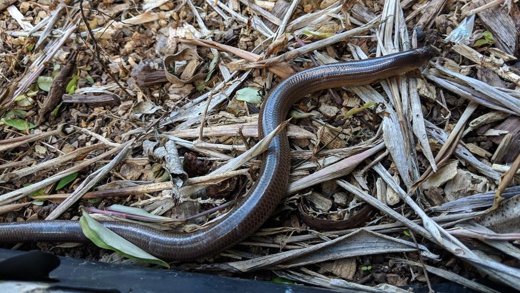 Ular berkaki di Riau hanyalah ular biasa yang keluar alat kelaminnya. Tapi di dunia nyata ini, ilmuwan membuktikan memang ada hewan seperti ular tapi berkaki (Richard Leathers/iNaturalist)