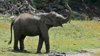 Waduh, Gajah yang Doyan Durian Ini Serang Toko Makanan di Thailand