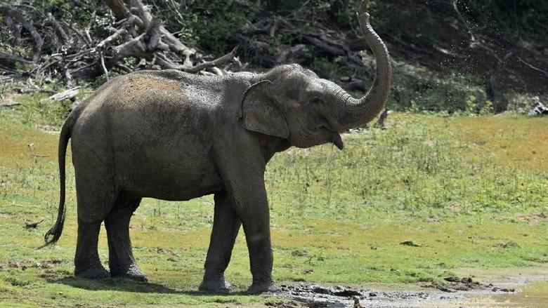 Ilustrasi Gajah Asia