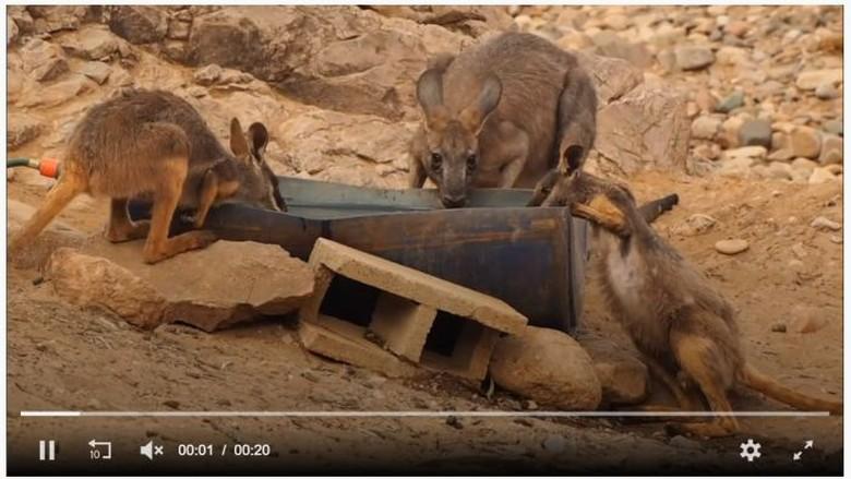 Kekeringan Parah, Kanguru Makan Tisu Toilet dan Bangkai Kanguru Lain
