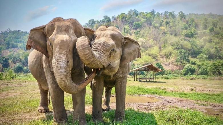 Ilustrasi Gajah Asia (iStock)