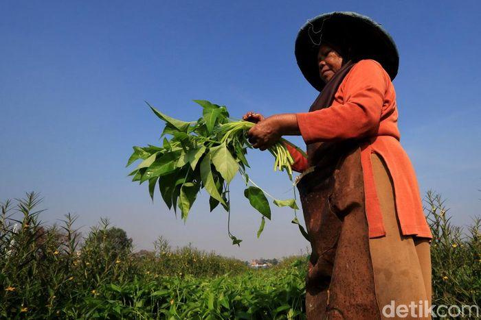 Petani tengah memanen kangkung di Desa Pesawahan, Kecamatan Dayeuhkolot, Kabupaten Bandung.