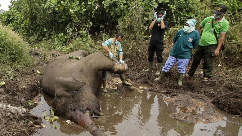 Petugas Lakukan Nekropsi Bangkai Gajah Liar di Riau