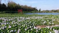 Hamparan tumbuhan eceng gondok di tepian Sungai Opak tiba-tiba menjadi tempat wisata yang ngehits di Bantul, Yogyakarta. Namanya, Kalinampu Natural Park. (Pradito/detikcom)