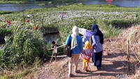 Setibanya di Kalinampu Natural Park, mata pengunjung akan dimanjakan dengan hamparan bunga eceng gondok yang tengah bermekaran. Itu membuat tepian Sungai Opak berwarna ungu dan putih. (Pradito/detikcom)