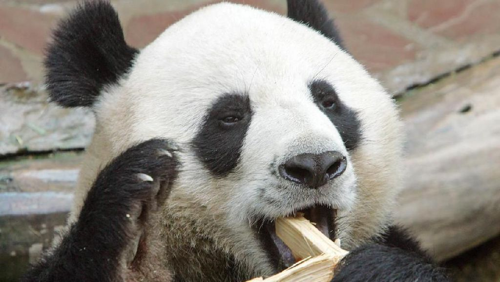 Panda Chuang Chuang Mati Mendadak di Thailand, Diduga Gagal Jantung