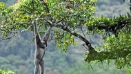 Melihat Primata yang Terancam Punah di Gunung Gede