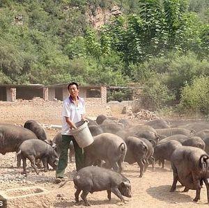 Peternak Babi Jadi Orang Terkaya China Berharta Rp 19 Triliun!