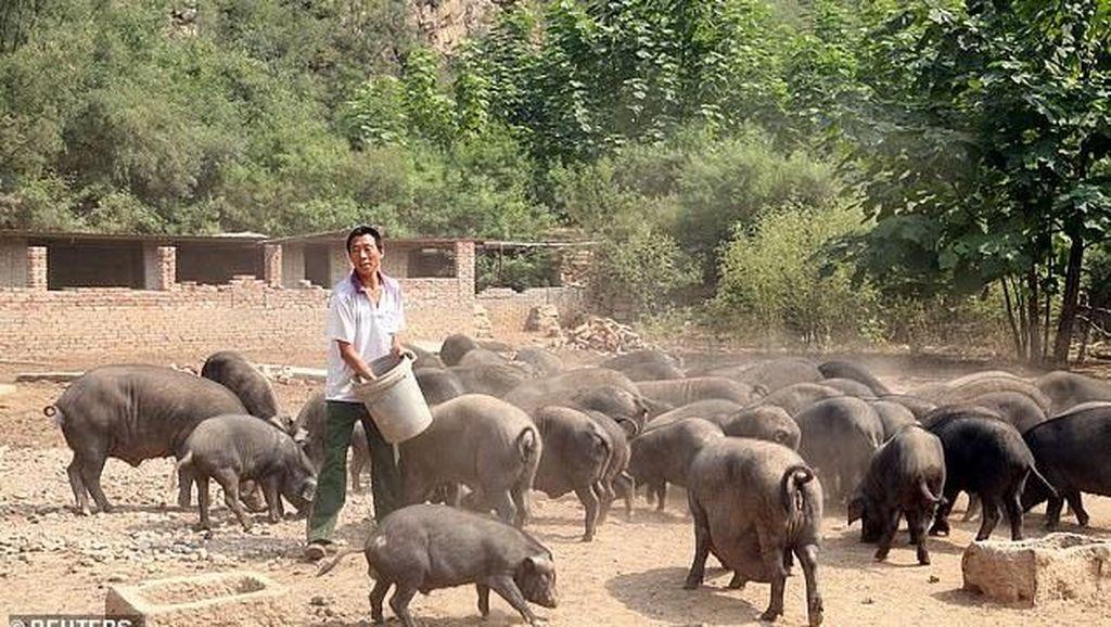 Babi Bikin Orang China Jadi Tajir, Begini Pangsa Pasarnya