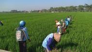 Ramah Lingkungan, Pestisida Nabati Digunakan Petani Pati Atasi Hama