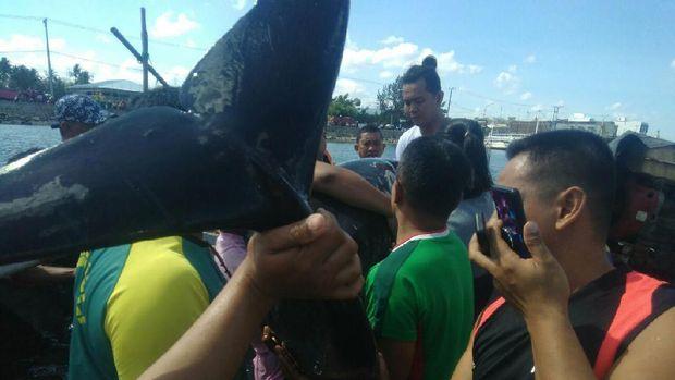 Seekor lumba-lumba terdampar di Pantai Cempae, Kecamatan Soreang, Parepare, Sulsel.