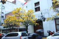 Tabebuya merupakan jenis pohon besar yang bunganya mekar setahun sekali menjelang datangnya musim hujan (Reta Amaliyah Shafitri/detikcom)