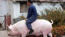 5 Fakta Babi Jumbo Seberat 500 Kg yang Kini Dikembangkan China