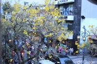 Spesies yang menghiasi Jalan Braga adalah tabebuya kuning (Handroanthus chrysotrichus). Banyak yang mengira, bunga Tabebuya berasal dari Jepang karena bentuknya mirip Sakura (Reta Amaliyah Shafitri/detikcom)