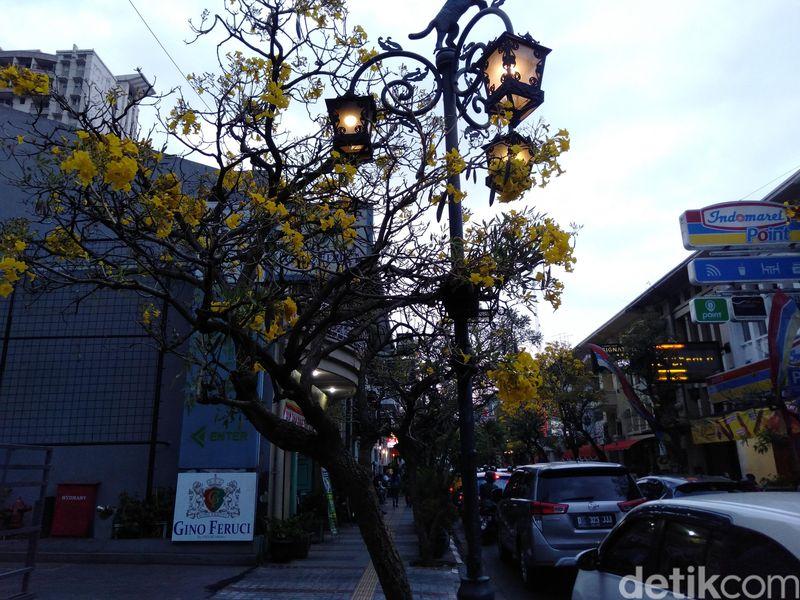 Mekarnya bunga tabebuya yang berwarna kuning berbentuk mirip terompet ini menambah keindahan Jalan Braga sejak dua minggu terakhir (Reta Amaliyah Shafitri/detikcom)