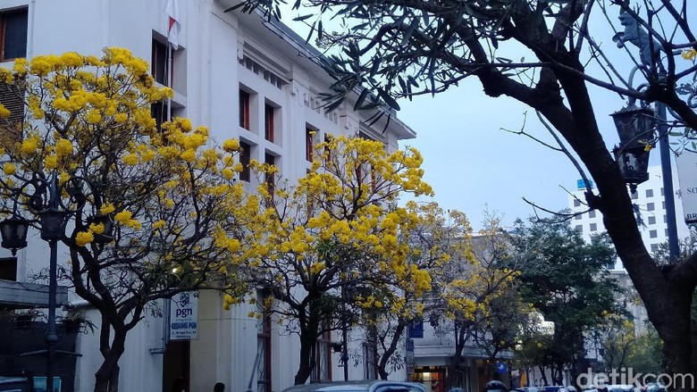 Bunga Tabebuya di Jalan Braga, Bandung (Reta Amaliyah Shafitri/detikcom)